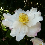 Camellia sasanqua Day Dream (9)