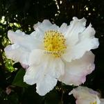 Camellia sasanqua Day Dream (9)