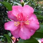 Camellia sasanqua Dazzler (1)