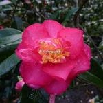 Camellia sasanqua Dazzler (2)