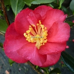 Camellia sasanqua Dot Spengler (2)
