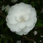 Camellia sasanqua Early Pearly (5)