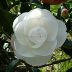 Camellia sasanqua Early Pearly (1)