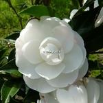 Camellia sasanqua Early Pearly (2)