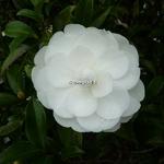 Camellia sasanqua Early Pearly (3)
