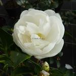 Camellia sasanqua Etoile du Berger