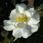 Camellia sasanqua Gay Sue (2)
