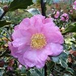 Camellia sasanqua Hana Daijin Benten (1)