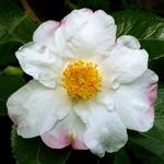 Camellia sasanqua Hana Jiman