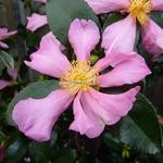 Camellia sasanqua Hugh Evans (5)
