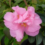 Camellia sasanqua Jennifer Susan (1)
