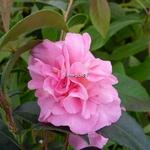 Camellia sasanqua Jennifer Susan (2)