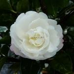 Camellia sasanqua Kogyoku (1)