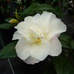 Camellia sasanqua Little Pearl