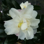 Camellia sasanqua Little Pearl (1)