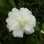 Camellia sasanqua Mine no yuki