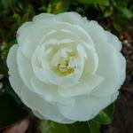 Camellia sasanqua Mine no Yuki (1)