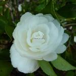 Camellia sasanqua Mine no Yuki (2)