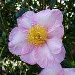 Camellia sasanqua Momozono Nishiki (1)