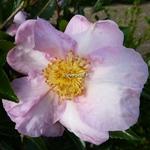 Camellia sasanqua Momozono Nishiki (2)