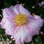 Camellia sasanqua Momozono Nishiki (3)