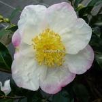 Camellia sasanqua Narumi-gata (2)