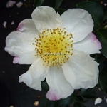 Camellia sasanqua Narumi Gata