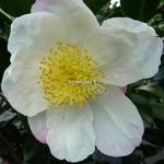 Camellia sasanqua Narumi-gata (1)