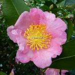 Camellia sasanqua Nodami Ushiro (1)