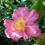 Camellia sasanqua Nodami Ushiro (2)