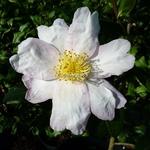 Camellia sasanqua Papaver