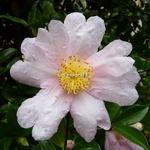 Camellia sasanqua Papaver (2)