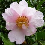 Camellia sasanqua Papaver (4)