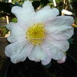 Camellia sasanqua Papaver (5)