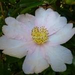 Camellia sasanqua Papaver (6)