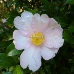 Camellia sasanqua Papaver (8)