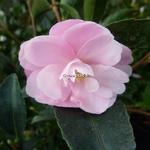 Camellia sasanqua Pink Pearl