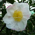 Camellia sasanqua Pink Snow (2)