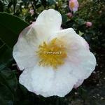 Camellia sasanqua Pink Snow (4)