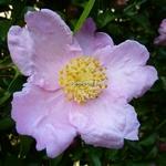 Camellia sasanqua Plantation Pink (2)