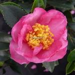 Camellia sasanqua Sandra (1)