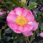 Camellia sasanqua Sandra (2)