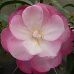Camellia sasanqua Sayaka