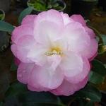 Camellia sasanqua Sayaka (3)
