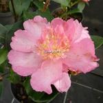Camellia sasanqua Shinonome
