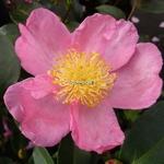 Camellia sasanqua Shinonome (1)