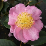 Camellia sasanqua Shinonome (2)