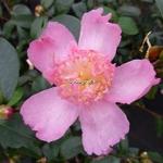 Camellia sasanqua Shinonome (4)