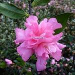 Camellia sasanqua Sparkling Burgundy (1)