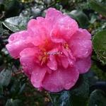 Camellia sasanqua Sparkling Burgundy (2)
